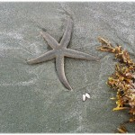 Seabrook Island - Starfish