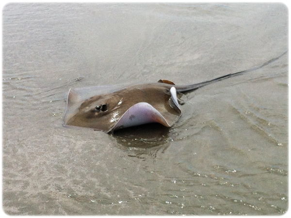 Seabrook Island Stingray