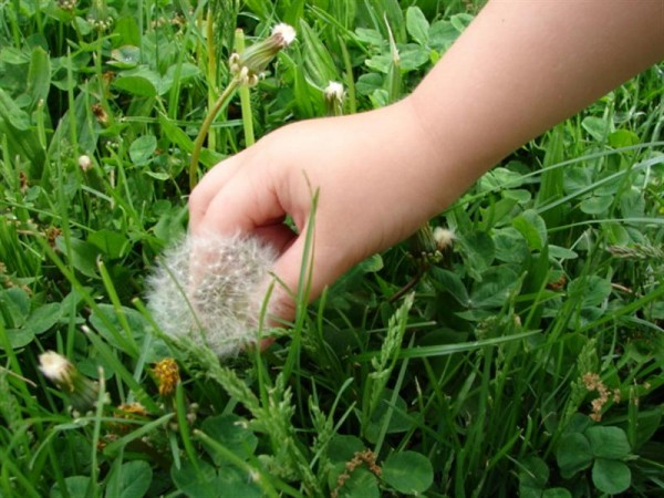 Picking Dandelion - Photo Credit Randy Heath