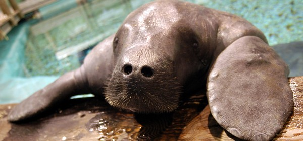 Snooty the World's Oldest Living Manatee